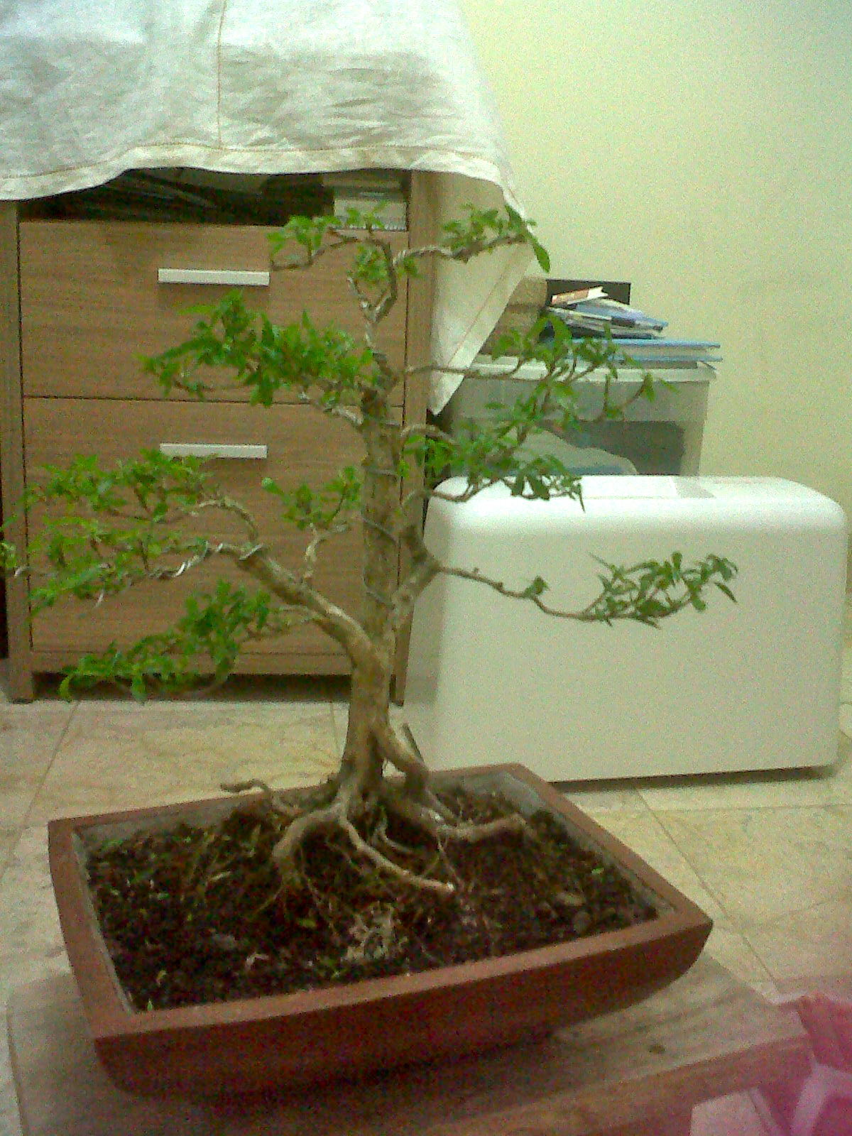 Do you think it's a Ginseng Ficus Bonsai?