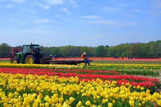 tulip-fields-lisse-2
