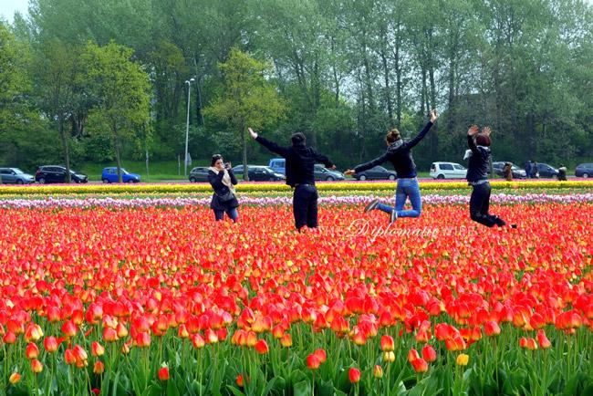 tulip-fields-lisse